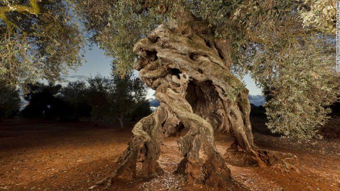 spains oldest olive tree